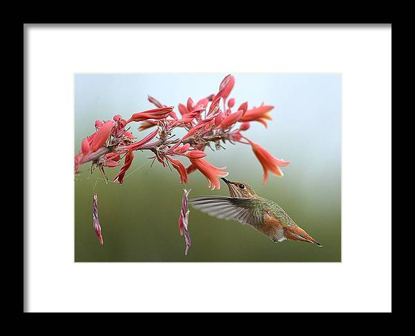 Hummingbird Framed Print featuring the photograph Floating by Fraida Gutovich