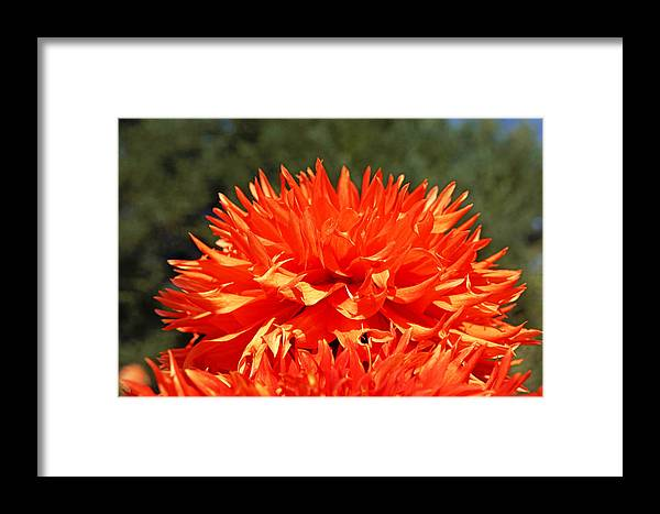 Green Framed Print featuring the photograph Floral Orange Dahlia Flowers Art Prints by Baslee Troutman Floral Fine Art Prints