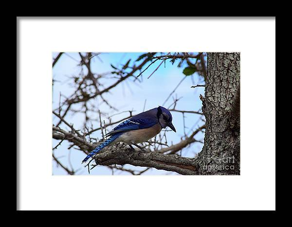 Florida Blue Jay Framed Print featuring the photograph Florida Blue Jay by William Tasker