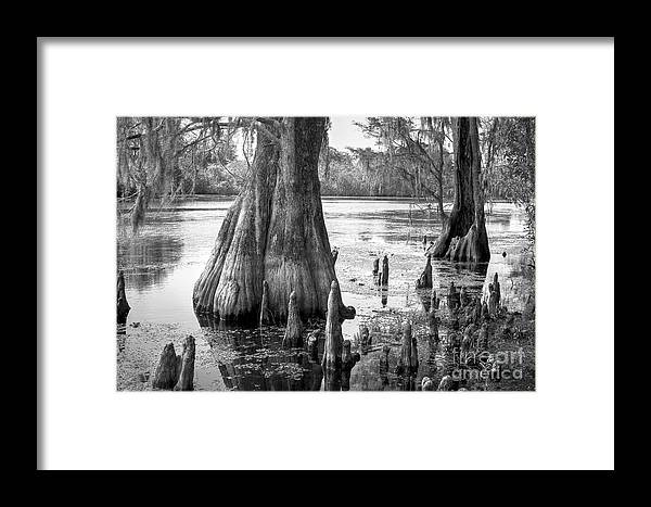 Photographs Framed Print featuring the photograph Florida Cypress, Hillsborough River, Fl In Black And White by Felix Lai