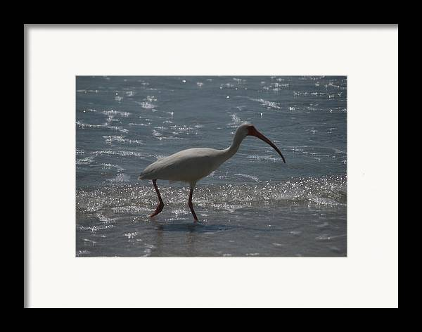 Florida Framed Print featuring the photograph Florida Ibis 2 by Lisa Gabrius