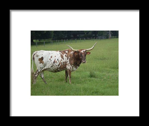 Cow Framed Print featuring the photograph Florida Longhorn S E Ocala Fl by Warren Thompson