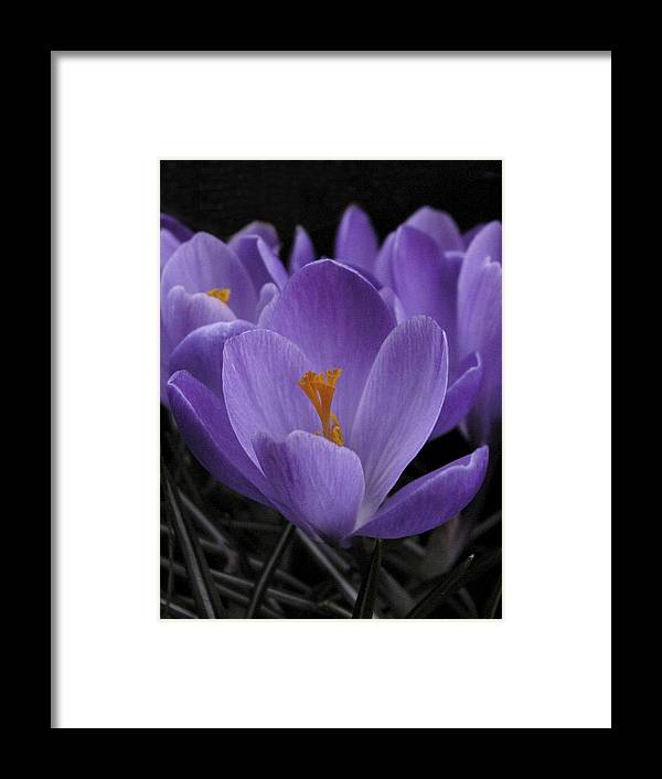 Flowers Framed Print featuring the photograph Flower Crocus by Nancy Griswold