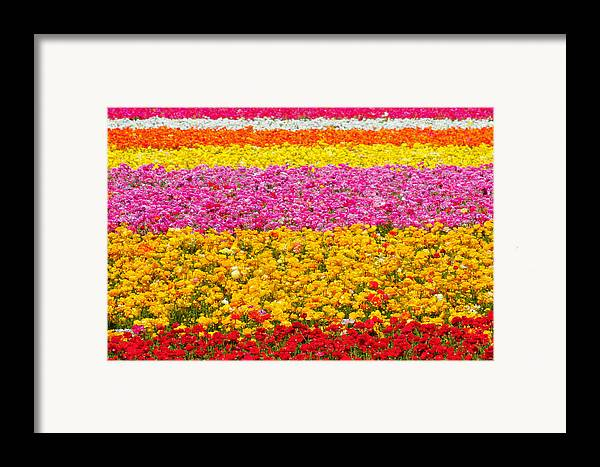 Flower Framed Print featuring the photograph Flower Fields Carlsbad Ca Giant Ranunculus by Christine Till