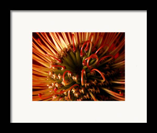 Flowers Framed Print featuring the photograph Flower Hawaiian Protea by Nancy Griswold