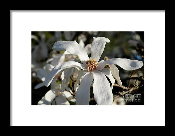 Star Magnolia Framed Print featuring the photograph Flower by Sylvia Beatty