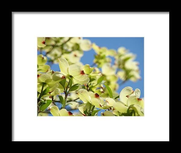 Flowering dogwood tree art print white dogwood flowers blue sky art dogwood framed print featuring the photograph flowering dogwood tree art print white dogwood flowers blue sky mightylinksfo