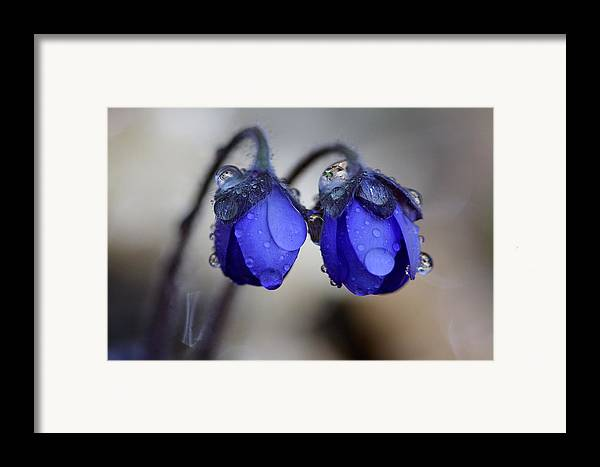 Art Framed Print featuring the photograph Flowers Fresh Rain Droplet by Romeo Koitmae