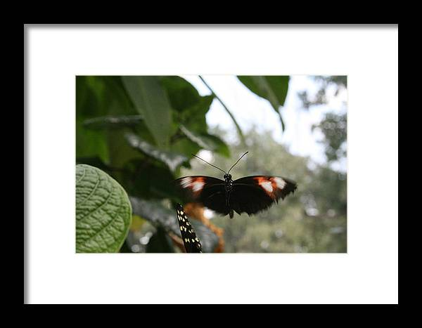 Black Framed Print featuring the photograph Fly Free - Black, Orange, White Butterfly by Lynn Michelle