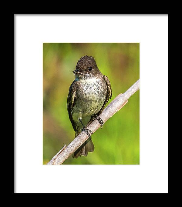 Flycatcher Framed Print featuring the photograph Fly In The Mouth by William Krumpelman