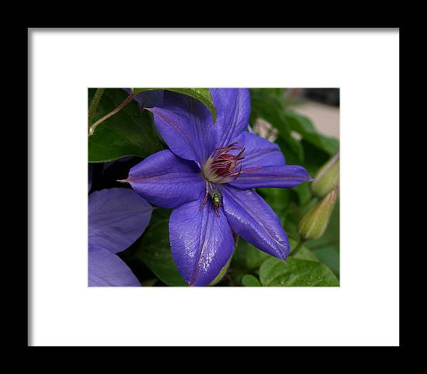 Fly Framed Print featuring the photograph Fly On The Clematis by Mike Stanfield