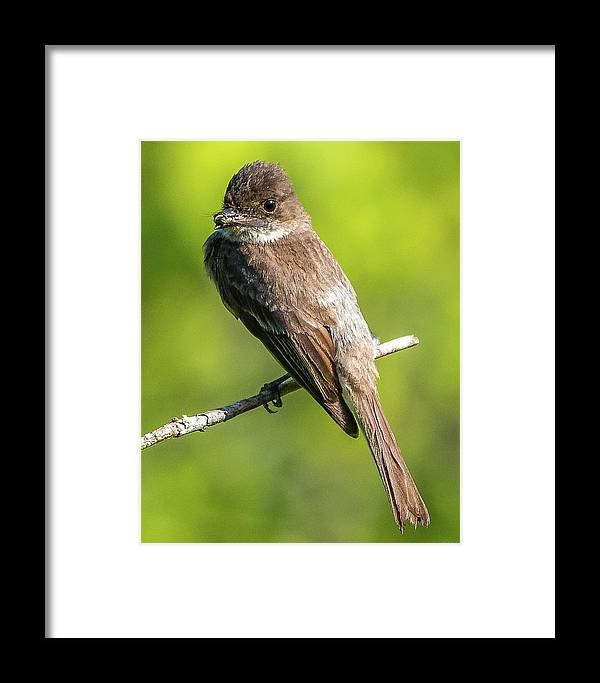 Flycatcher Framed Print featuring the photograph Flycatcher by William Krumpelman
