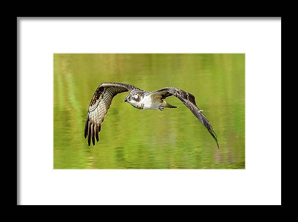 Osprey Framed Print featuring the photograph Flying Osprey by Jerry Cahill