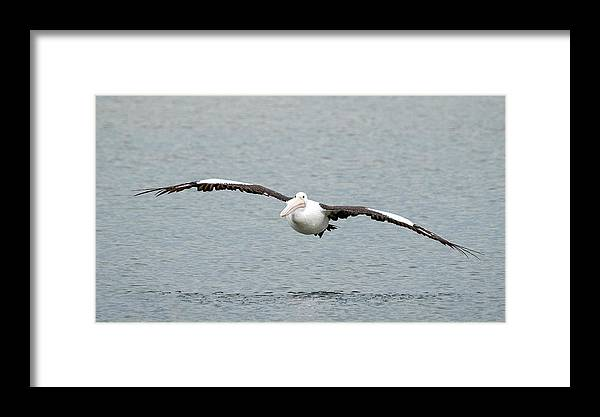 An Australian Pelican (pelecanus Conspicillatus) Gracefully Flying In To Land. Framed Print featuring the photograph Flying Pelican by Catherine Reading
