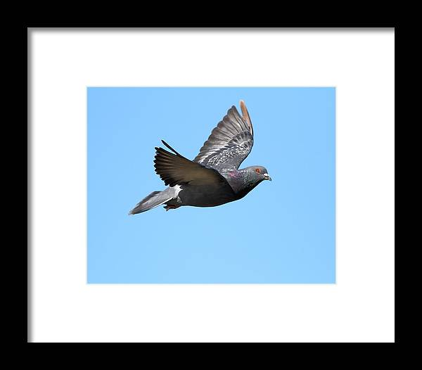 Bird Framed Print featuring the photograph Flying Pigeon . 7d8640 by Wingsdomain Art and Photography