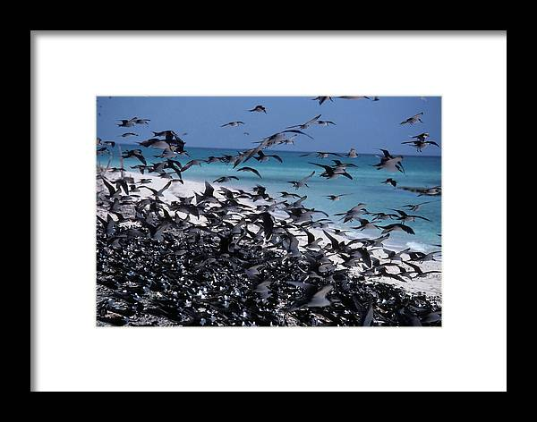 Flock Framed Print featuring the photograph Flying Terns On The Great Barrier Reef by Carl Purcell