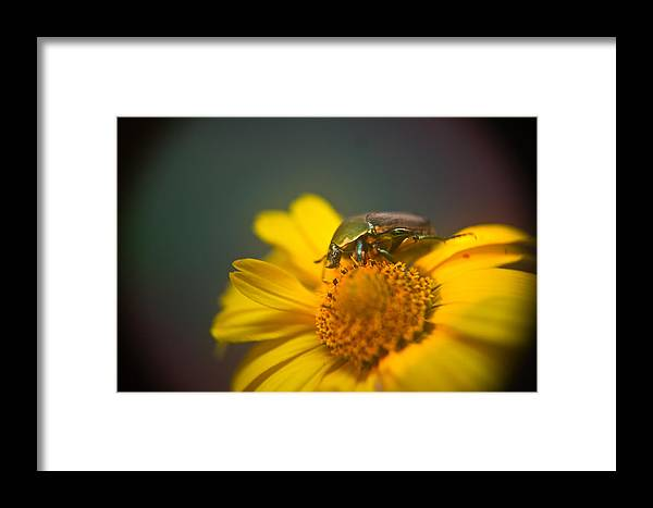 Coleoptera Framed Print featuring the photograph Focused June Beetle by Douglas Barnett