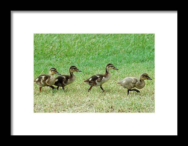 Bird Framed Print featuring the photograph Follow The Leader by Teresa Blanton