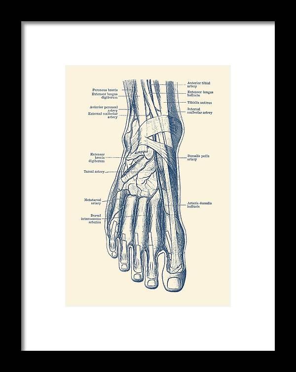 Foot Diagram Human Circulatory System Framed Print By Vintage