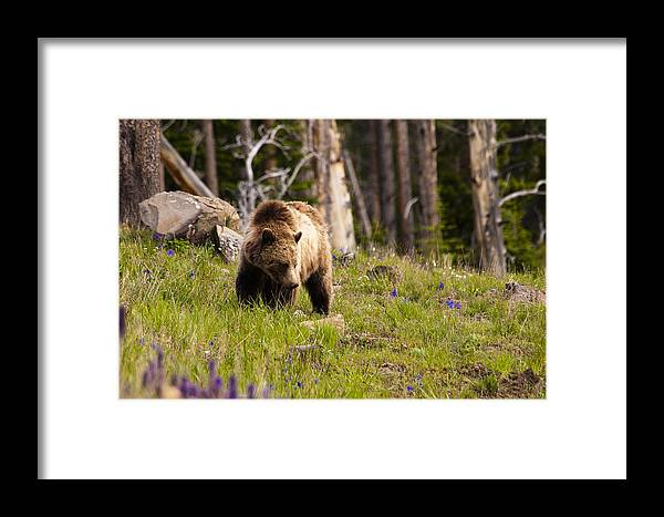 Grizzly Bear Framed Print featuring the photograph Foraging Grizzly by Chad Davis