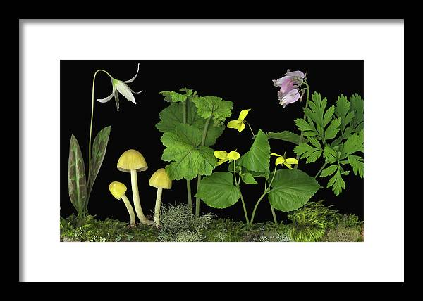 Pacific Northwest Native Species; Fawn Lily Framed Print featuring the digital art Forest Floor by Sandi F Hutchins