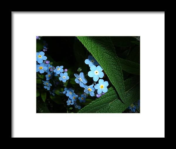 Flower Framed Print featuring the photograph Forget Me Nots by Marsha L Power