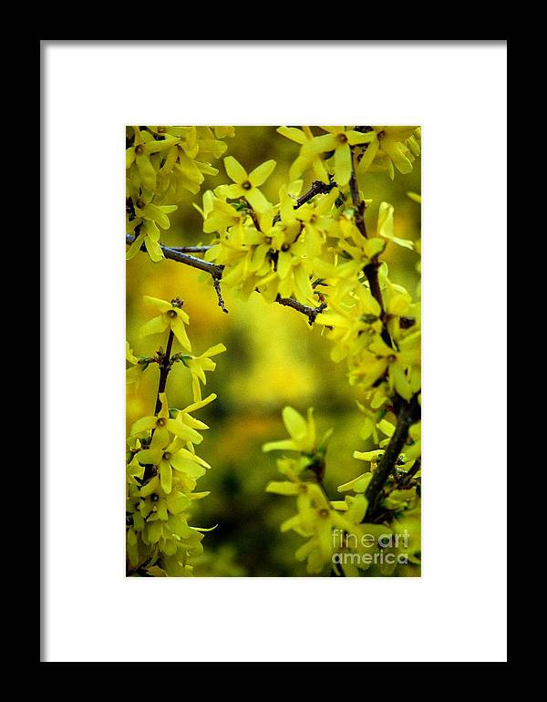 Spring Framed Print featuring the photograph Forsythia At The Hacienda by David Lane