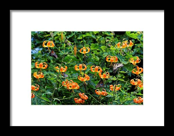 Turks Cap Lilies Framed Print featuring the photograph Four Butterflies On Turks Cap Lilies by David Rowe
