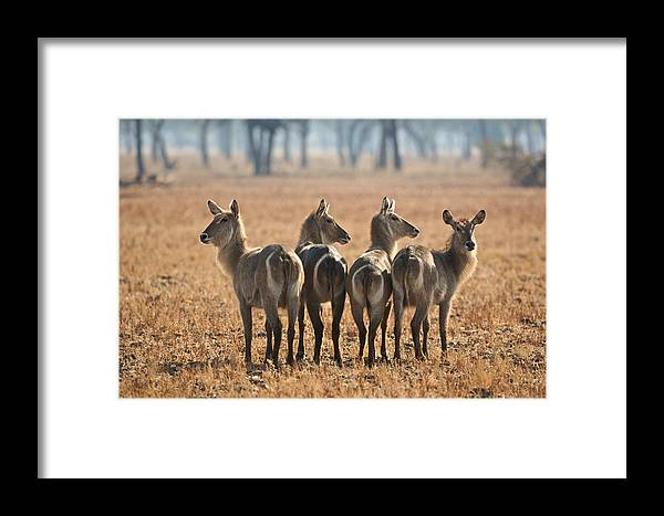 Africa Framed Print featuring the photograph Four Waterbucks by Johan Elzenga