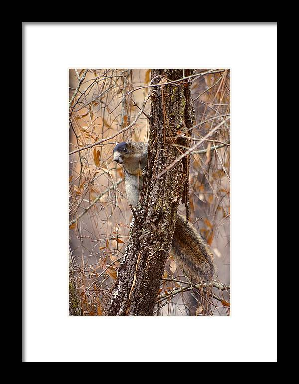Fox Framed Print featuring the photograph Fox Squirrel by Aaron Rushin