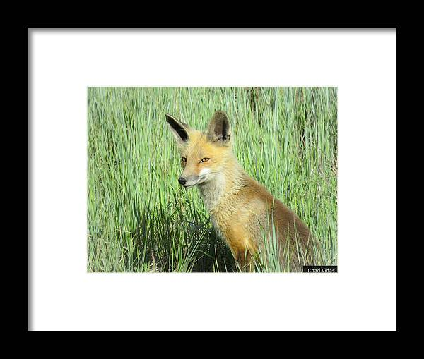 Colorado Framed Print featuring the photograph Foxy Lady by Chad Vidas