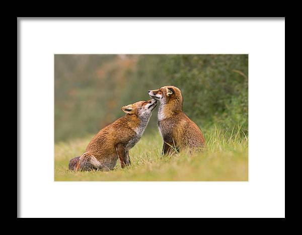 Red Fox Framed Print featuring the photograph Foxy Love- Kiss by Roeselien Raimond