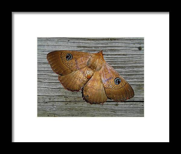 Moth Framed Print featuring the photograph Frederica by Mark Blauhoefer