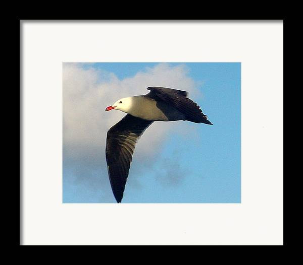 Seagull Framed Print featuring the photograph Free Flight by PJ Cloud
