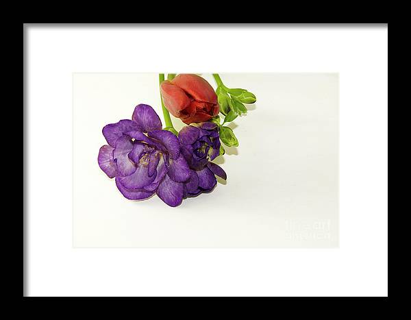 Flowers Framed Print featuring the photograph Freesia And Tulip by Elvira Ladocki