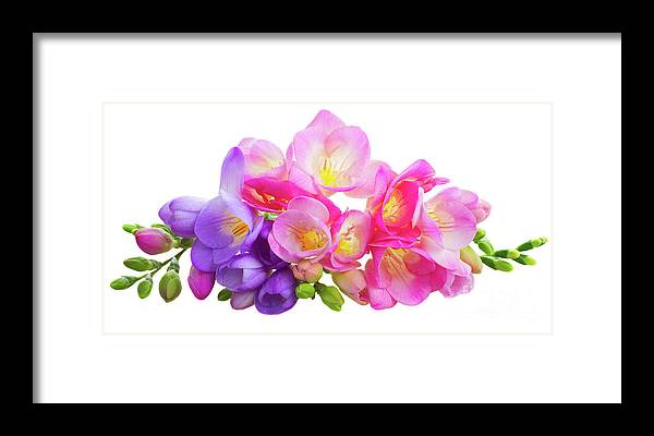 Fresh pink and violet freesia flowers framed print by anastasy freesia framed print featuring the photograph fresh pink and violet freesia flowers by anastasy yarmolovich mightylinksfo