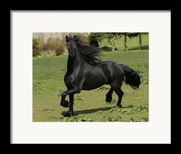 Friesian Framed Print featuring the photograph Friesian Horse In Galop by Michael Mogensen