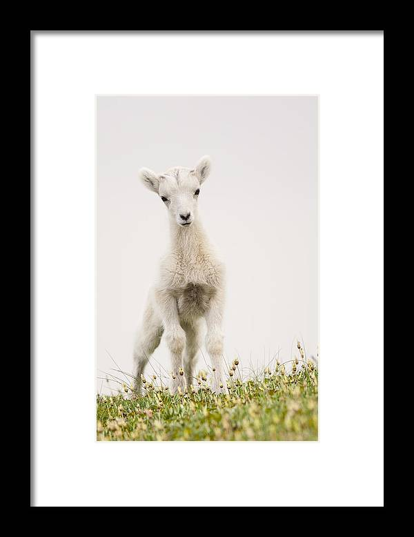 Dall Sheep Framed Print featuring the photograph Frisky Lamb by Tim Grams