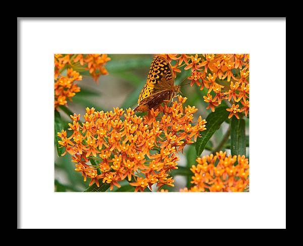 Frittalary Framed Print featuring the photograph Frittalary Milkweed And Nectar by Douglas Barnett