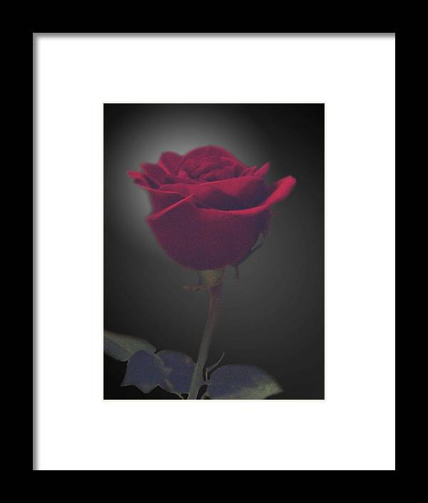 Rose Framed Print featuring the photograph From Someone Special by Lindsay Clark