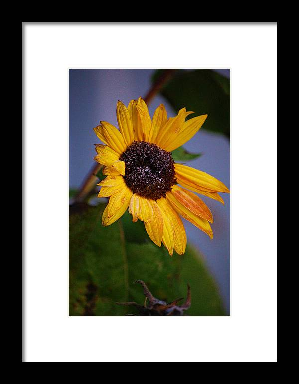 Flower Framed Print featuring the photograph Frosty Sunflower by Jame Hayes