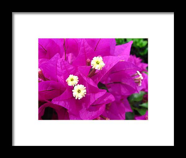 Tropical Framed Print featuring the photograph Fuchsia Flowers by Sheila Walker