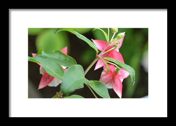 Flowers Framed Print featuring the photograph Fuchsia From Above by MHmarkhanlon