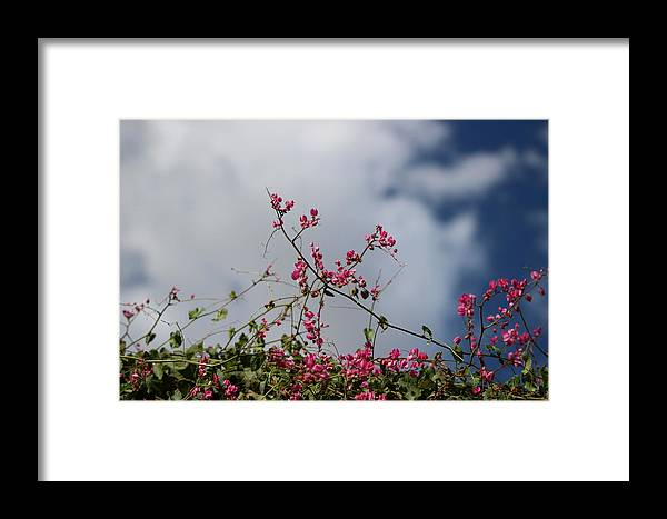 Fuchsia Mexican Coral Vine Clouded Desert Sky Framed Print featuring the photograph Fuchsia Mexican Coral Vine On White Clouds by Colleen Cornelius