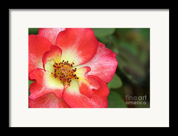 Rose Framed Print featuring the photograph Full Bloom by Jeannie Burleson
