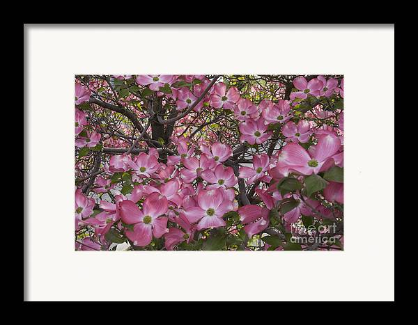Dogwood Framed Print featuring the photograph Full Bloom by Idaho Scenic Images Linda Lantzy