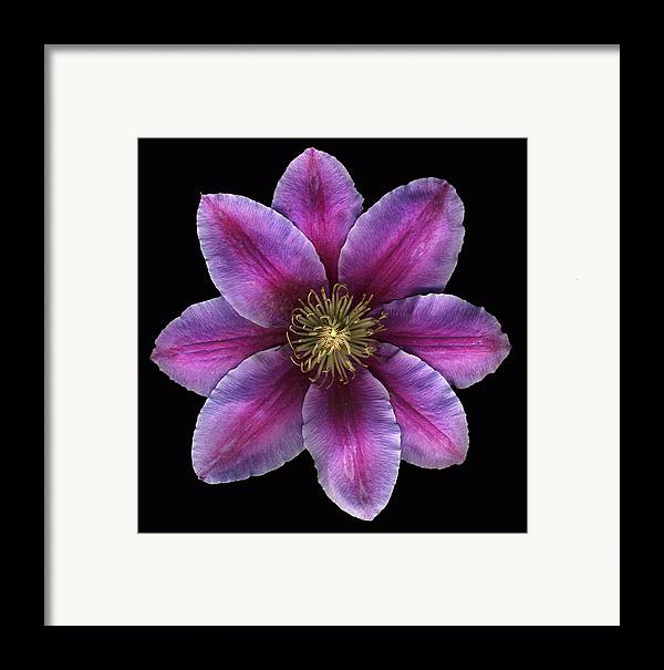 Scanography Framed Print featuring the photograph Fuscia Clematis by Deborah J Humphries