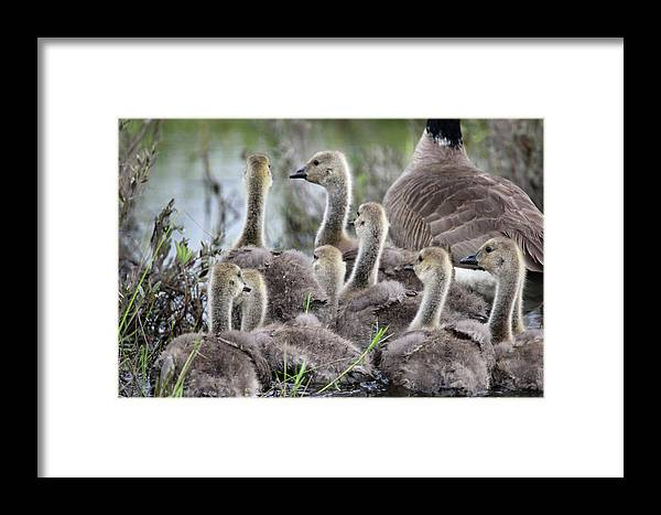 Geese Framed Print featuring the photograph Fuzzy Butts2 by Brook Burling