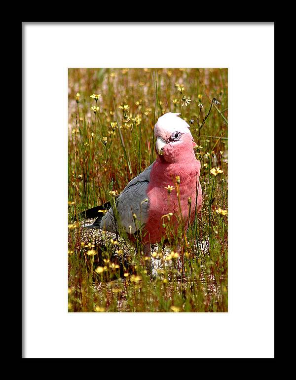Parrots Framed Print featuring the photograph Galah by Tony Brown