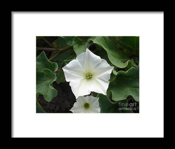Flower Framed Print featuring the photograph Galapagos Flower by Chad Natti